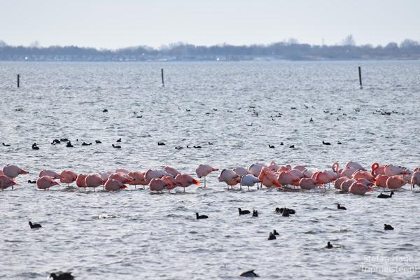 Flamingo's Nederland
